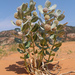 Welsh's Milkweed - Photo (c) Bryce Silver-Bates, some rights reserved (CC BY-NC)