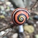 Painted Snail - Photo (c) rappman, some rights reserved (CC BY)