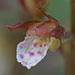 Corallorhiza wisteriana - Photo (c) Jerry Oldenettel, alguns direitos reservados (CC BY-NC-SA)