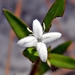 Buttonweed - Photo (c) Bob Peterson, some rights reserved (CC BY-NC-SA)