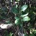 Dovyalis rotundifolia - Photo (c) Andrew Gillespie, osa oikeuksista pidätetään (CC BY-SA)