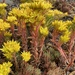 Spearleaf Stonecrop - Photo (c) Peter Zika, some rights reserved (CC BY-NC)