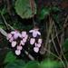 Begonia wilsonii - Photo (c) ed_shaw, algunos derechos reservados (CC BY-NC)