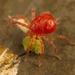 Ácaros Rojos Depredadores - Photo (c) portioid, algunos derechos reservados (CC BY-SA)