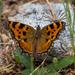 Tortoiseshells - Photo (c) Michael Sveikutis, some rights reserved (CC BY-ND)