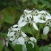 Frostweed - Photo (c) Mark Fishbein, some rights reserved (CC BY-NC)