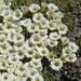 Benthamiella nordenskioldii - Photo (c) David Thomas, some rights reserved (CC BY-NC)
