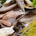 Wood Frog - Photo (c) ricmartin, some rights reserved (CC BY-NC)