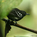 White-flanked Antwren - Photo (c) Michael Woodruff, some rights reserved (CC BY-SA)