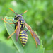 Hornets, Paper Wasps, Potter Wasps, and Allies - Photo (c) Cécile Bassaglia, some rights reserved (CC BY-NC-SA)