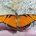 Mariposa Pasionaria de Alas Largas - Photo (c) Cheryl Harleston López Espino, algunos derechos reservados (CC BY-NC-ND)