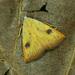 Straw Dot - Photo (c) Michał Brzeziński, some rights reserved (CC BY-NC)