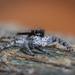 Menemerus taeniatus - Photo (c) Felix Fleck,  זכויות יוצרים חלקיות (CC BY-NC)