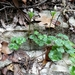Anemone edwardsiana - Photo (c) Alison Northup, algunos derechos reservados (CC BY)