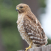California Red-shouldered Hawk - Photo (c) Sam, some rights reserved (CC BY-NC)