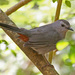 Gray Catbird - Photo (c) Jerry Oldenettel, some rights reserved (CC BY-NC-SA)