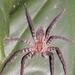 Araña Vagabunda Atigrada - Photo (c) Ian Morton, algunos derechos reservados (CC BY-NC-SA)