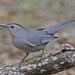 Dumetella Catbirds - Photo (c) Jerry Oldenettel, some rights reserved (CC BY-NC-SA)