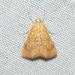 Glaphyria sesquistrialis - Photo (c) Royal Tyler,  זכויות יוצרים חלקיות (CC BY-NC-SA)