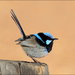 Typical Fairywrens - Photo (c) teejaybee, some rights reserved (CC BY-NC-ND)