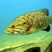 Smallmouth Bass - Photo Engbretson Eric, U.S. Fish and Wildlife Service, no known copyright restrictions (public domain)