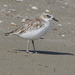 Red-breasted Dotterel - Photo (c) Ralph Green, some rights reserved (CC BY-NC-ND)