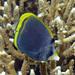 Chaetodon flavirostris - Photo (c) John Turnbull,  זכויות יוצרים חלקיות (CC BY-NC-SA), uploaded by Marine Explorer (John Turnbull)