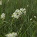 Triantha occidentalis brevistyla - Photo (c) podiceps, algunos derechos reservados (CC BY-NC), uploaded by Susan