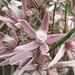 Cynanchum purpureum - Photo (c) Ochirnima Nimaev, μερικά δικαιώματα διατηρούνται (CC BY)