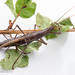 Anisomorpha buprestoides - Photo (c) Erfan Vafaie, algunos derechos reservados (CC BY-NC-SA)