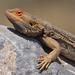 Dragón Barbudo Australiano - Photo (c) Nik Borrow, algunos derechos reservados (CC BY-NC)