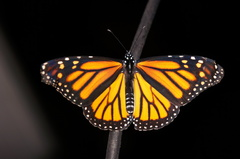 Monarch - Photo (c) fam-esquivel, some rights reserved (CC BY-NC)