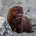 American Mink - Photo (c) pfaucher, some rights reserved (CC BY-NC)