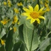 Mule's Ears - Photo (c) Neil Hunt, some rights reserved (CC BY-NC)