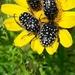 Oxythyrea abigail - Photo (c) עומר וינר, algunos derechos reservados (CC BY-NC)