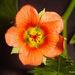 Modiola caroliniana - Photo (c) Phil Bendle,  זכויות יוצרים חלקיות (CC BY-NC)