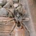 Grammostola anthracina - Photo (c) Liu Idárraga Orozco, algunos derechos reservados (CC BY-NC)
