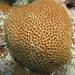Coral Estrella Masiva - Photo (c) FWC Fish and Wildlife Research Institute, algunos derechos reservados (CC BY-NC-ND)