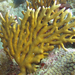 Millepora alcicornis - Photo (c) FWC Fish and Wildlife Research Institute, μερικά δικαιώματα διατηρούνται (CC BY-NC-ND)