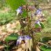Trachystemon orientalis - Photo (c) ryan martyn, algunos derechos reservados (CC BY-NC-SA)