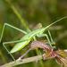 Greek Predatory Bush-Cricket - Photo (c) diegoreggianti, some rights reserved (CC BY-NC)