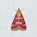 Pyrausta signatalis - Photo (c) Royal Tyler, μερικά δικαιώματα διατηρούνται (CC BY-NC-SA)