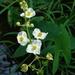 Alismataceae - Photo (c) zen Sutherland, μερικά δικαιώματα διατηρούνται (CC BY-NC-SA)