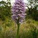 Orchis italica - Photo (c) Birgit Lutosch, algunos derechos reservados (CC BY-NC-ND)