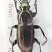Poecilus lepidus - Photo (c) Chris Moody, algunos derechos reservados (CC BY-NC)