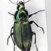Poecilus versicolor - Photo (c) Chris Moody, algunos derechos reservados (CC BY-NC-ND)