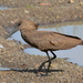 Hamerkop - Photo (c) copper, some rights reserved (CC BY-NC)