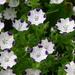 Nemophila maculata - Photo (c) Matt N Charlotte, μερικά δικαιώματα διατηρούνται (CC BY-NC-ND)