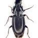 Pterostichus minor - Photo (c) Chris Moody, algunos derechos reservados (CC BY-NC)