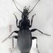 Pterostichus niger - Photo (c) Chris Moody, algunos derechos reservados (CC BY-NC)